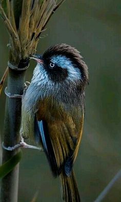 White-browed Fulveta.
