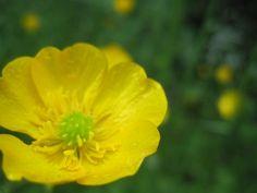 buttercup garden