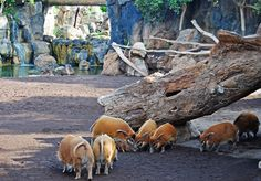 Red River Hog, Zoo Park, Tropical Gardens, Zoos, Aquariums, Mammals, Wildlife, Architecture, Projects