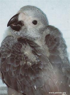Juvenile captive african grey parrot