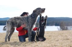 Giant Dogs, Big Dogs, Small Dogs, Cute Dogs, Large Animals, Animals And Pets, Cute Animals, Hounds Of Love, Relaxed Dog