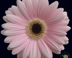 Mini Gerbera - Dante - Gerbera - Flowers and Fillers - Flowers by category | Sierra Flower Finder