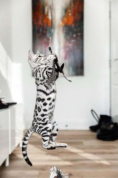 Excellent Free of Charge Bengal Cats full grown Thoughts Initial, when it concerns just what serves as a Bengal cat. Bengal kittens and cats are a pedigree breed in wh. Silver Bengal Cat, White Bengal Cat, White Kittens, Cute Cats And Kittens, Baby Cats, Kittens Cutest, Bengal Cats, Ragdoll Kittens, Funny Kittens