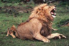 PAPI LEÓN: Grrr! Por favor, Garritas, me duele tus pequeños dientecitos. Intantánea del fotógrafo reportero Yann Arthus-Bertrand, en el Parque Nacional Massai de Kenya.
