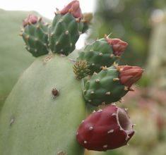 Prickly pear mead recipe - secret delight revealed - National beer   Examiner.com