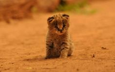 Baby Leopard -- Spotted at Tongole Wilderness Lodge
