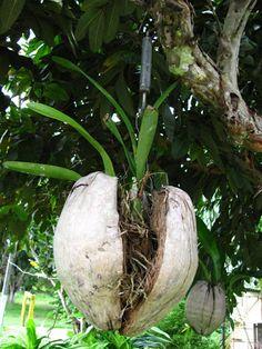 A Orquídea :: Exibir tópico - Plantas de um amigo de Santo Antônio (interior da Bahia)