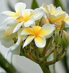Plumeria - one of my family's favorite flowers