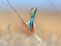 The Comedy Wildlife Photography Awards: A colourful reptile holds up a twig as it is pictured looking like a warrior with a powerful stance. Photograph: Anup Deodhar/Barcroft Images