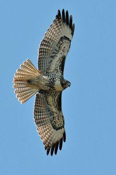 Red tailed hawk // Buse à queue rousse -