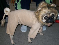 Lion costume my husband made for Pugsley :)