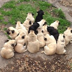 A puddle of pugs! #dogs #pets #Pugs Facebook.com/sodoggonefunny
