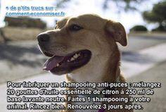 Voici un shampooing à base de citron qui est très efficace contre les puces attaquent les chats et les chiens.  Découvrez l'astuce ici : http://www.comment-economiser.fr/huile-essentielle-citron-puces.html?utm_content=buffer2e308&utm_medium=social&utm_source=pinterest.com&utm_campaign=buffer