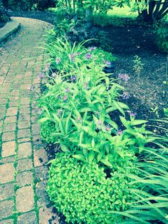 Ground cover n perennials along pavers