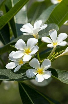white and yellow plumeria frangipani flowers with leaves Flowers Nature, Exotic Flowers, Tropical Flowers, Amazing Flowers, Spring Flowers, White Flowers, Beautiful Flowers, White Roses, Maui Pictures