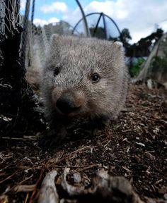 Womy's world on Flinders Island Happy Animals, Cute Baby Animals, What Is A Wombat, Australia Animals, Extinct, Cute Creatures, Animals Of The World, Animals Beautiful, Kangaroo