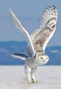 The snowy owl is a large, white owl of the typical owl family. Snowy owls are native to Arctic regions in North America and Eurasia. Males are almost all white, while females have more flecks of black plumage. Owl Photos, Owl Pictures, Beautiful Owl, Animals Beautiful, Owl Bird, Pet Birds, Animals And Pets, Cute Animals, Tier Fotos