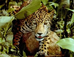 Amazon rainforest jaguar. Bet you won't bump into one of these beautiful beasties in an urban jungle?