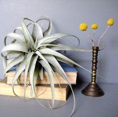 Air Plants (Table, Bar, Mantle)