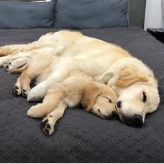 Astonishing Everything You Ever Wanted to Know about Golden Retrievers Ideas. Glorious Everything You Ever Wanted to Know about Golden Retrievers Ideas. Retriever Puppy, Dogs Golden Retriever, Funny Golden Retrievers, I Love Dogs, Cute Dogs, Dog Rates, Dog Life, Funny Dogs, Dogs And Puppies
