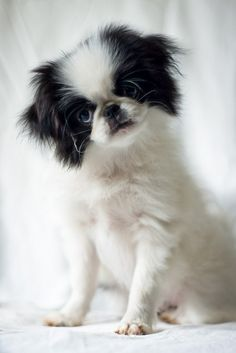 Japanese Chin puppy: Is it confused about its size? 6 Small Dog Breeds That Don& Bark (A Lot!) Source by mountainviewpet The post 6 Small Dog Breeds That Don& Bark (A Lot!) appeared first on Gwen Howarth Dogs. Small Dog Breeds, Small Dogs, I Love Dogs, Cute Dogs, Japanese Chin Puppies, Stop Dog Barking, Dog Photography, Little Dogs, Dog Care