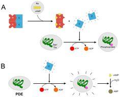 Protein kinase A - Wikipedia, the free encyclopedia