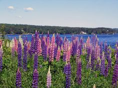 lupines of Nova Scotia...one of the most beautiful sights to see