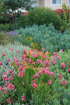 South African Ixia longituba v. bellendenii and succulents Succulents Garden, Planting Flowers, South African Flowers, Water Wise Landscaping, Yard Landscaping, Landscaping Ideas, African Plants, Indoor Flowering Plants, Small Courtyard Gardens