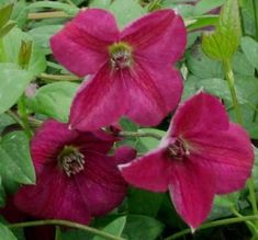 viticella   available from Taylors Clematis