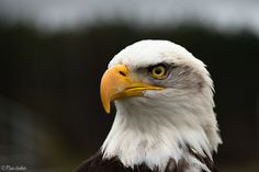 Bald Eagle Portrait by Ryan Gardiner from Flickr