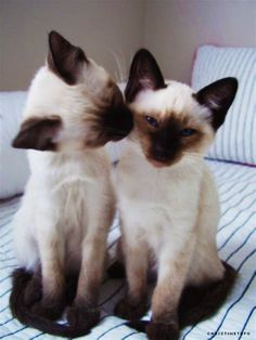 siamese cats - Yahoo Search Results Yahoo Image Search Results