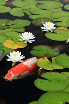 Keeping you Koi pond clean should be one of your number one priorities. A clean pond could mean the difference between you Koi living a beautiful stress free Koi Fish Pond, Fish Ponds, Koi Art, Fish Art, Beautiful Fish, Beautiful Flowers, Koi Kunst, Koi Painting, Japanese Koi