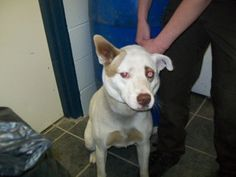#115 Husky-/lab mix female is an adoptable Husky Dog in Ithaca, MI. This pretty white dog with brown around her eyes was found on W. Filllmore and West County Line rd. She was wearing 3 collars ( a ch...