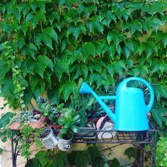 Piante grasse per giardinieri dietologi. Più improbabile annaffiatoio e edera rampante della Bocconi. my shot  #garden #giardino #piante #piantegrasse #cactaceae #colors #cyan #azzurro #green #verde #igers #ig #ipad #ipadphoto #fotografia #foto #photo #photography #estate #summer