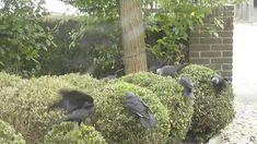 Vogels eten buxusmotrupsen Garden Sculpture, Wildlife, Outdoor Decor, Plants, Plant, Planets
