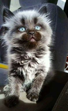 – December 2017 – We Love Cats and Kittens - Cutest Baby Animals Pretty Cats, Beautiful Cats, Animals Beautiful, Gorgeous Eyes, Pretty Animals, Cute Cats And Kittens, Cool Cats, Adorable Kittens, Ragdoll Kittens