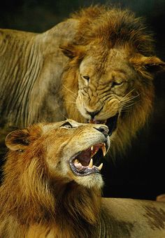 A lions roar can be heard from miles away-  Warren Matthews #Fact