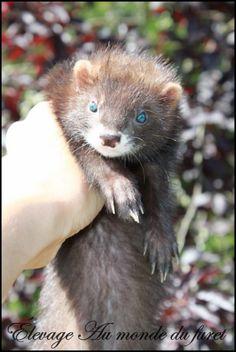 Blue eyed ferret
