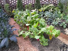File:Row of Swiss Chard at Phipps Conservatory.jpeg