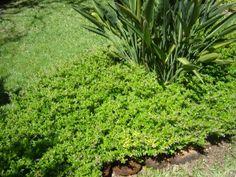 Plantas para Forrações e Cobertura Vegetal