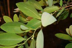 Erythroxylum-coca-foliage2 - Inca Empire - Wikipedia, the free encyclopedia