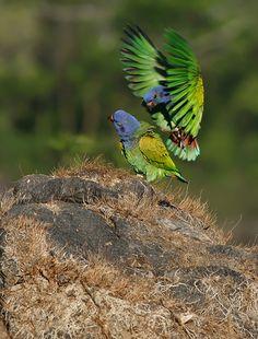 maitaca-de-cabeça-azul (Pionus menstruus) por Ivan Sjögren   Wiki Aves - A Enciclopédia das Aves do Brasil