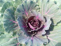 Cabbage Roses, Red Cabbage, Ornamental Cabbage, Rose Cottage, Cabbages, Vegetables, Flowers, Plants, Purple Cabbage