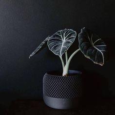 Planta Alocasia, Alocasia Plant, House Plants Decor, Plant Decor, Terrarium Plants, Garden Plants, Belle Plante, Gothic Garden, Black Flowers