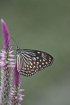 Blue Tiger (Tirumala limniace)