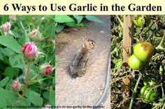 Uses for garlic