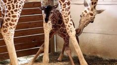 Did you miss the magical moment when April the giraffe gave birth? Here's another chance.