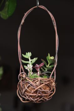 Handmade akebia basket for succulents display.