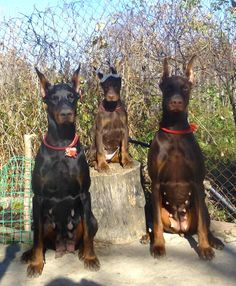 #Doberman trio