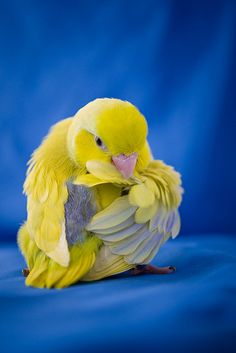 This is one of the reasons birds evolved with extra vertebrae. Kinds Of Birds, All Birds, Cute Birds, Pretty Birds, Beautiful Birds, Animals Beautiful, Exotic Birds, Colorful Birds, Baby Animals